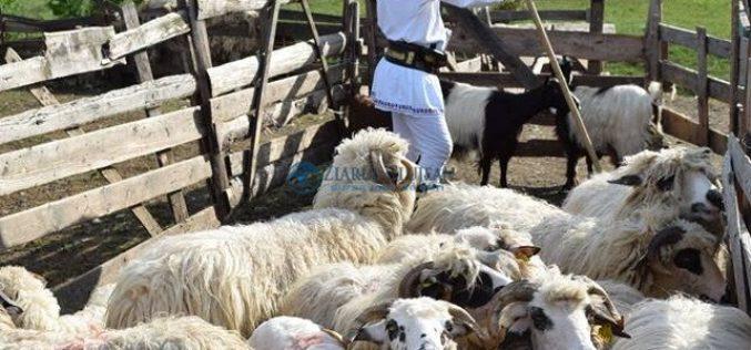 Hoți opriți la timp, înainte de a vinde în Aghireșu 80 de oi furate