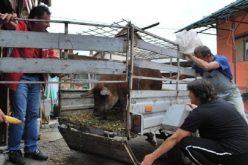Ajutor de minimis pentru crescătorii de Bazna sau Mangalița