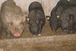 Pesta Porcină se extinde! Ce măsuri trebuie luate URGENT!