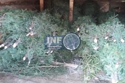 FOTO – A început jaful în pădurile de conifere din Săcuieu. Aproape 250 de brazi, confiscați